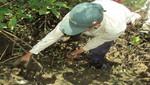 SERNANP: Empezó temporada de veda del cangrejo del manglar