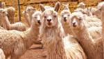 Alpaqueros de las comunidades fronterizas de Tacna son capacitados para procesar la fibra de alpaca