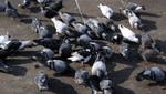Invasión de palomas atenta contra la salud pública y deteriora el medio ambiente alerta la Diresa Callao