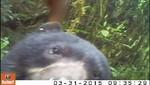 Cámaras trampa captan primeras imágenes de Oso de Anteojos en la Reserva Comunal El Sira