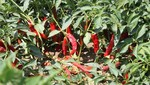 Chiclayo será sede de ajíes y pimientos