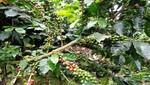 Alemania compra café orgánico a productores del Bosque de Protección Alto Mayo
