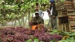 La uva fue el principal producto de agroexportación no tradicional el 2015