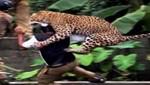 Leopardo atacó a empleado forestal en la India