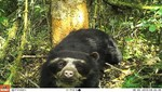 Cámaras trampa captan primeras imágenes de oso de anteojos en el Parque Nacional del Río Abiseo