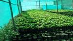 100 mil plantones de palta Hass llegan a la región Ancash