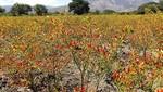 Exportan pasta de ají tabasco de Cajamarca a EE.UU y Europa por US$ 650 mil