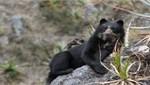 Monitoreo revela presencia del oso andino en 95% del Santuario Histórico de Machupicchu