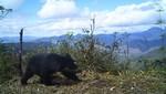 Se evidencia presencia de oso andino y tapir de montaña en el Santuario Nacional Tabaconas Namballe