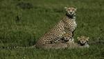 Historias impresionantes de los felinos más feroces de la naturaleza en 'Semana de Grandes Felinos'