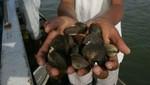 Comenzó la veda de conchas negras hasta el 31 de marzo para asegurar su conservación