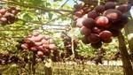 Cambio climático afectó desempeño de la uva