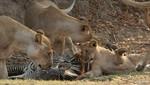 """Los depredadores más salvajes muestran sus garras en el especial de Nat Geo Wild: """"Semana Mortal"""""""