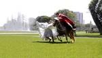 Municipalidad de Lima celebrará Día del Caballo Peruano con exhibición en el Circuito Mágico del Agua