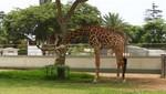 Parque de las Leyendas celebra el Día Mundial de la Jirafa