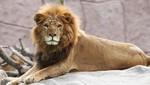 Parque de las Leyendas te invita a celebrar el Día Mundial del León este jueves
