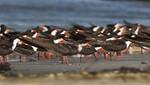 En noviembre vuelve el Festival de Aves Migratorias en la Reserva Nacional de Paracas