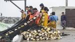 Más de 500 pescadores artesanales en Pisco mejoran sus ingresos gracias a proyecto de cultivo de conchas de abanico
