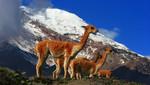 ¿Vicuñas en el Chimborazo?