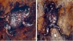 Cuatro nuevas especies de ranas para la ciencia son descubiertas en el Parque Nacional del Río Abiseo
