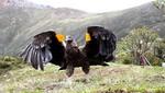 SERNANP: Liberan exitosamente cóndor andino en la Reserva Paisajística Nor Yauyos Cochas