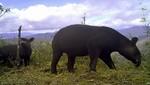 El tapir andino es el nuevo protagonista de la nueva moneda de S/ 1, conoce cómo se conserva esta especie