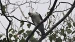 Primer registro documentado del águila blanca y negra en Perú se realiza en la Reserva Nacional Allpahuayo Mishana