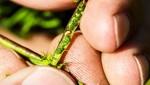 Mitsui Chemicals Agro, Inc. (MCAG) y BASF firman un acuerdo de comercialización para un nuevo insecticida
