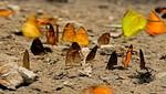Mariposario en Parque Nacional Sierra del Divisor se convertirá en nueva alternativa económica en Ucayali