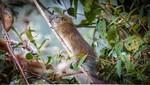 Rara especie de roedor es registrada en el Santuario Histórico de Machupicchu luego de 10 años