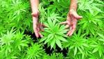 El gabinete israelí se prepara para aprobar las exportaciones de marihuana medicinal
