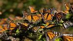 La población de mariposas monarcas aumentó 144% en los invernaderos de México