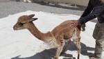Sepa cómo participar en el próximo Chaccu de vicuñas en la Reserva Nacional de Salinas y Aguada Blanca