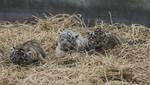 'Asiri' y 'Rosita' son los nombres de las nuevas tigresas del Parque de las Leyendas