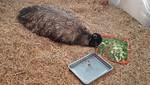 'Juancho', el emú macho del parque de las leyendas que incubó a sus 4 crías