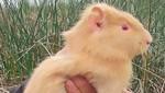 Registran primer hallazgo de cuy albino en Pantanos de Villa