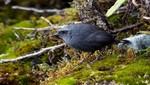 Tres nuevas especies de aves para la ciencia son descubiertas en áreas naturales protegidas de los andes centrales