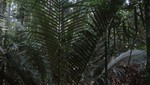 Nueva especie de palmera para la ciencia es descubierta en el Parque Nacional Cordillera Azul