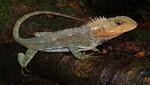 Nueva especie de lagartija para la ciencia es descubierta en el ámbito del Parque Nacional Tingo María