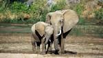 Camerún: Número de elefantes asesinados sería mayor de lo que se anunció