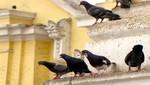 Erradicación de palomas