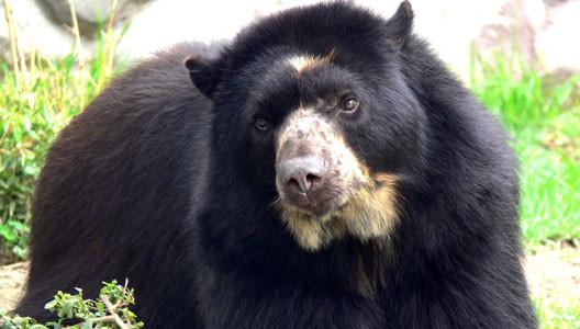 El oso de anteojos: entretelones de una cacería