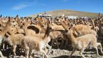 Chaccu de vicuñas
