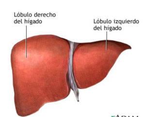 Localización, funciones y males del hígado